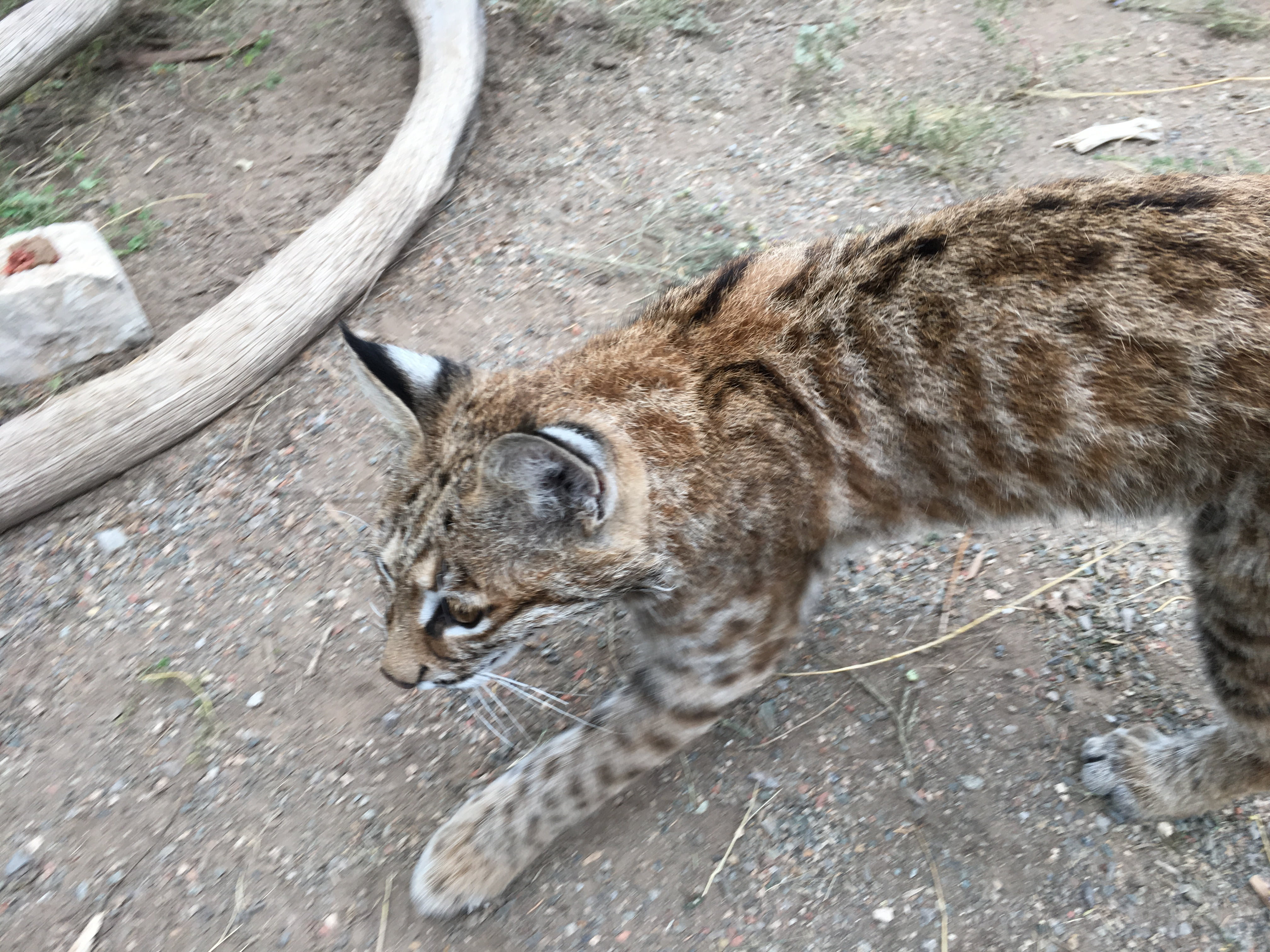 Bob the Bobcat newest resident of Wildlife West Nature Park