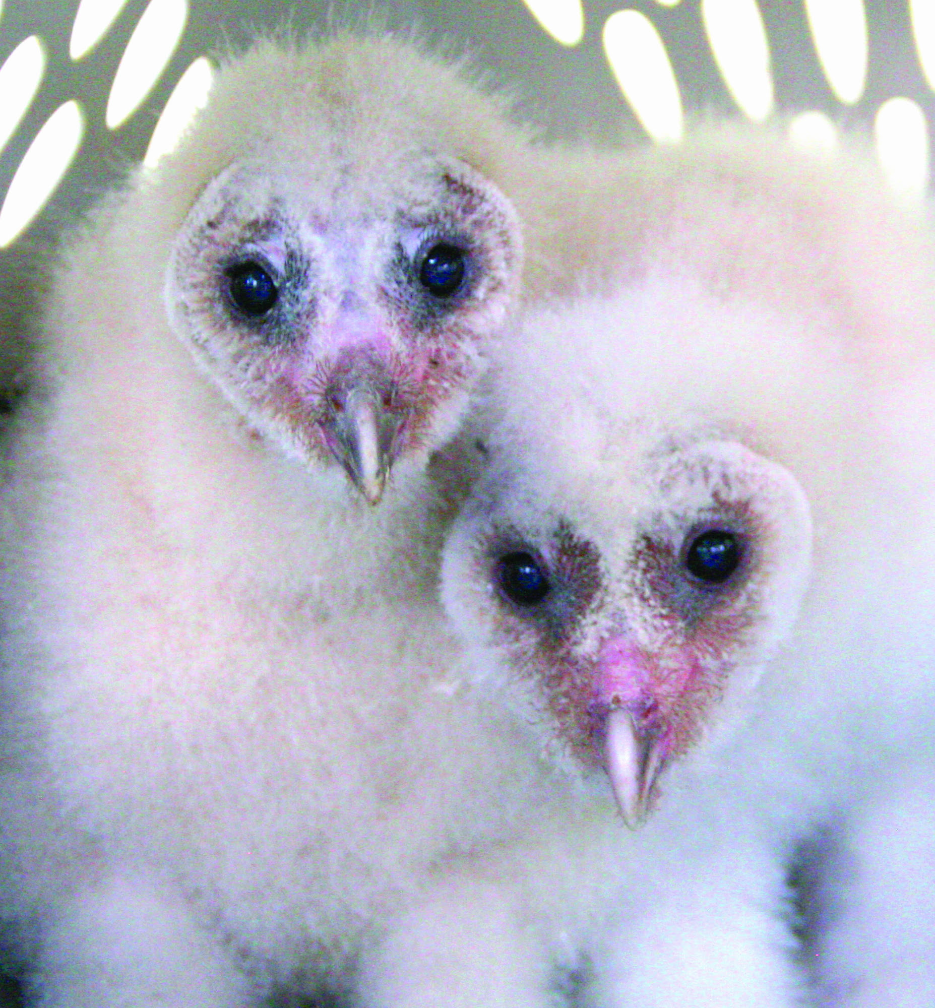 South Mountain student rescues owlets