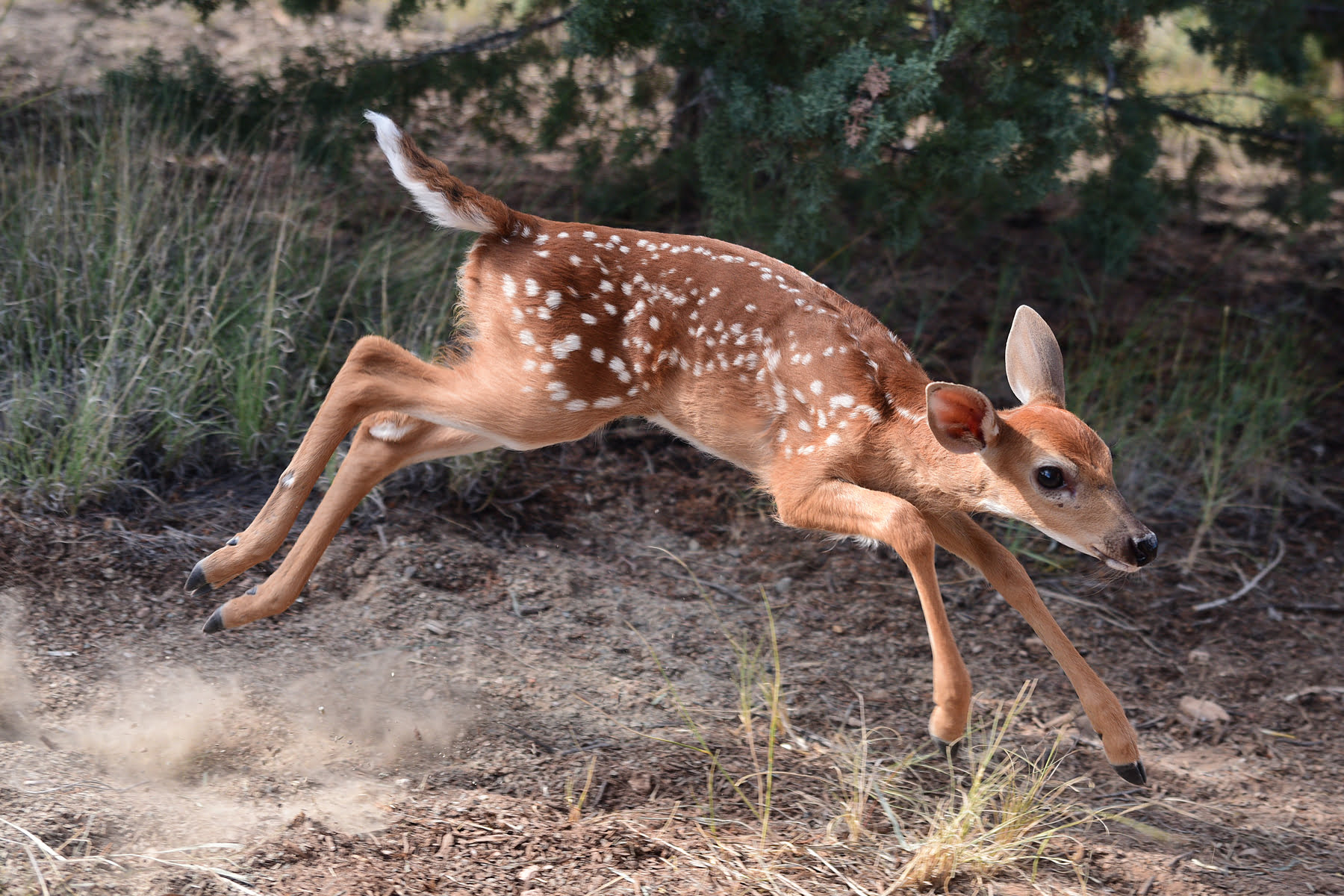 Dasher the baby Whitetail Deer at Wildlife West Nature Park