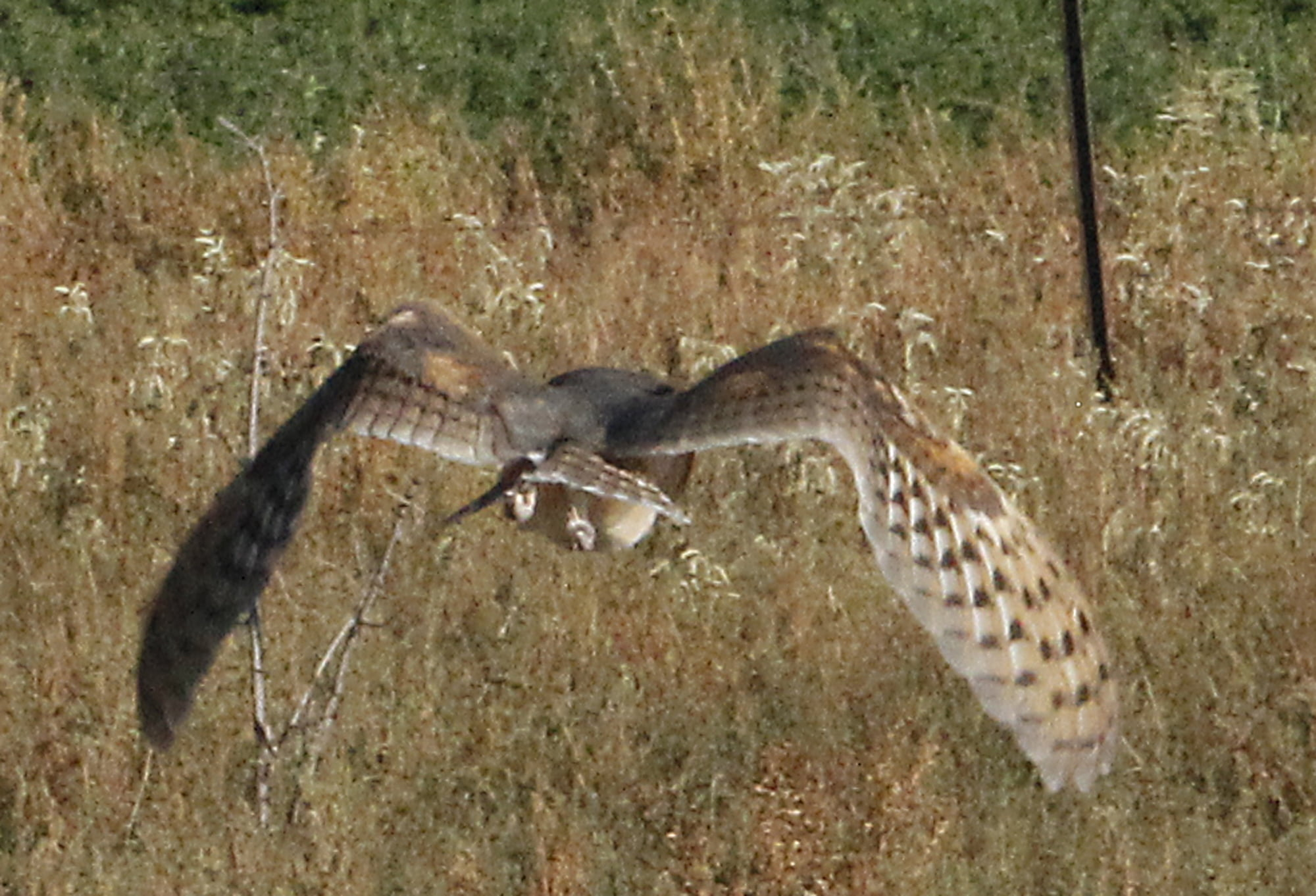 Hawks Aloft and Carson Dismuke release rescued owls