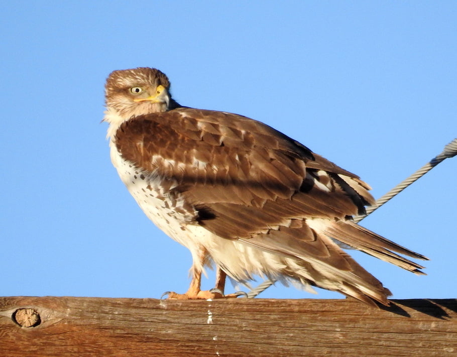 Wild Things: Ferruginous hawk (Buteo regalis)
