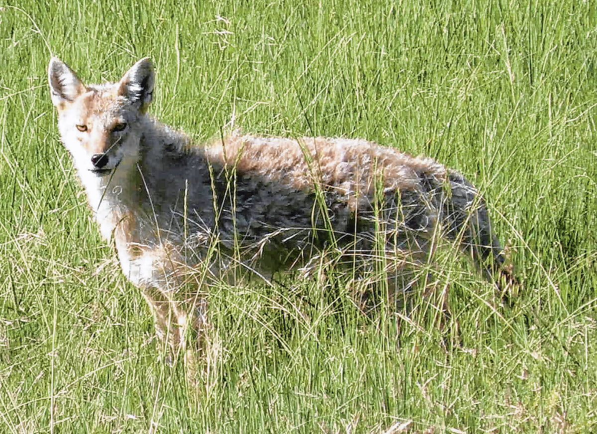 Wild Things: Coyote (Canis latrans)