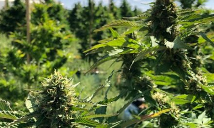Torrance growers lead the way on hemp