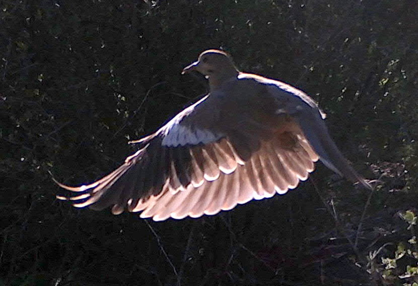 Wild Things: White-winged dove (Zenaida asiatica)