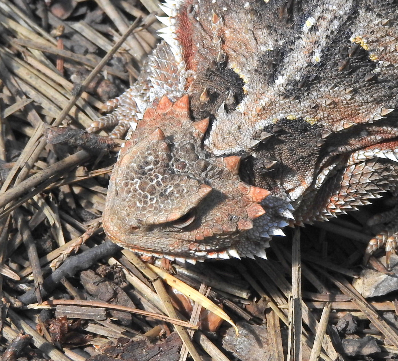 Wild Things: Greater short-horned lizard (Phrynosoma hermandesi)