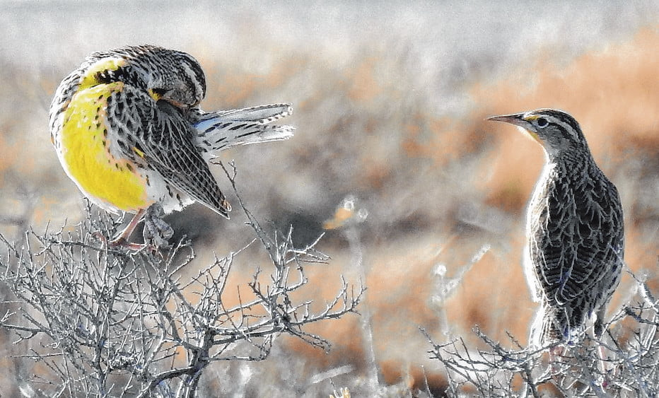 Wild Things: Western meadowlark (Sturnella neglecta)