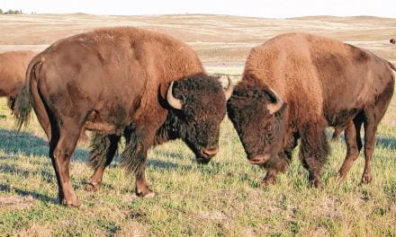 Wild Things: American Bison (Bison bison)