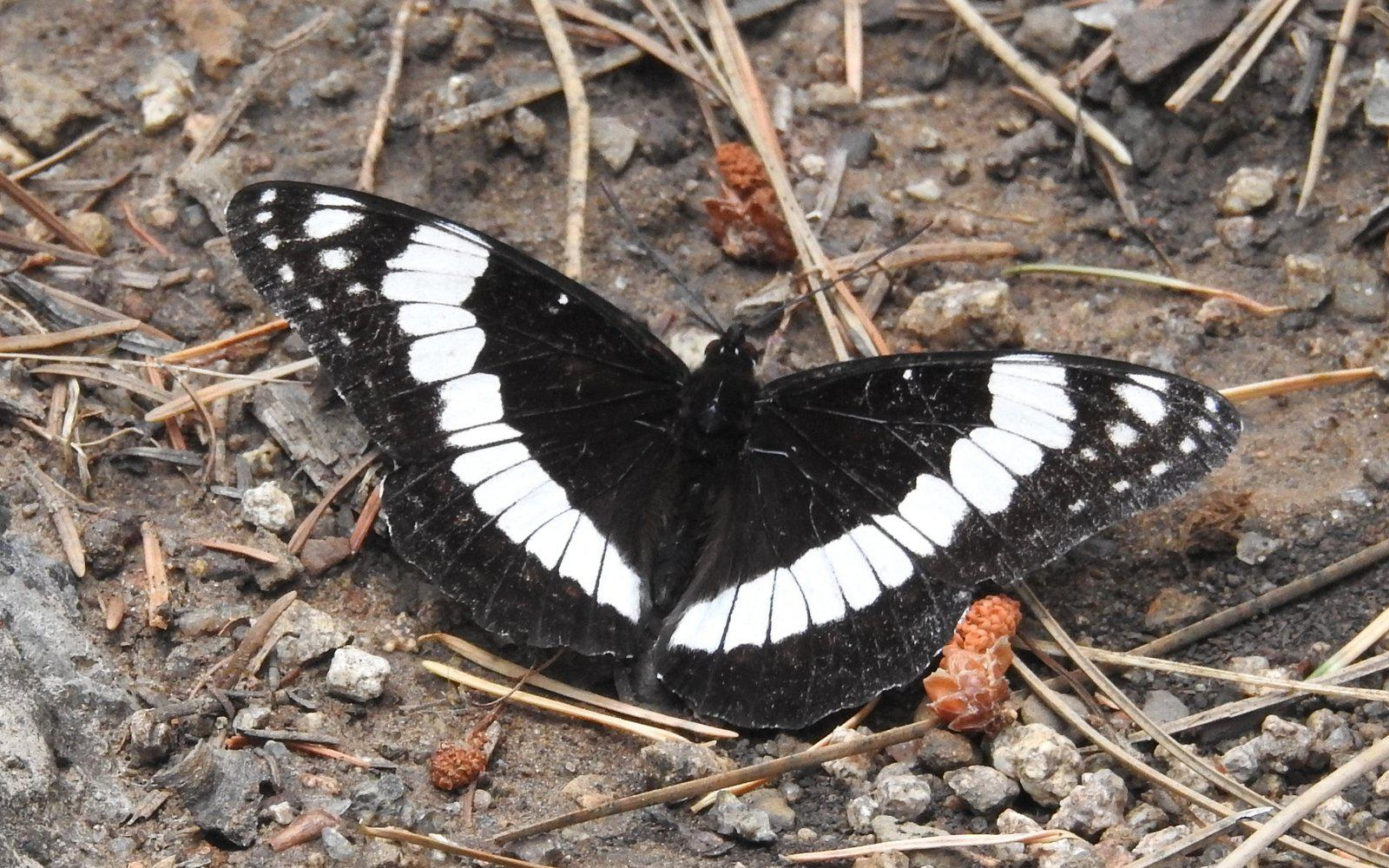 Some common butterflies of the East Mountains