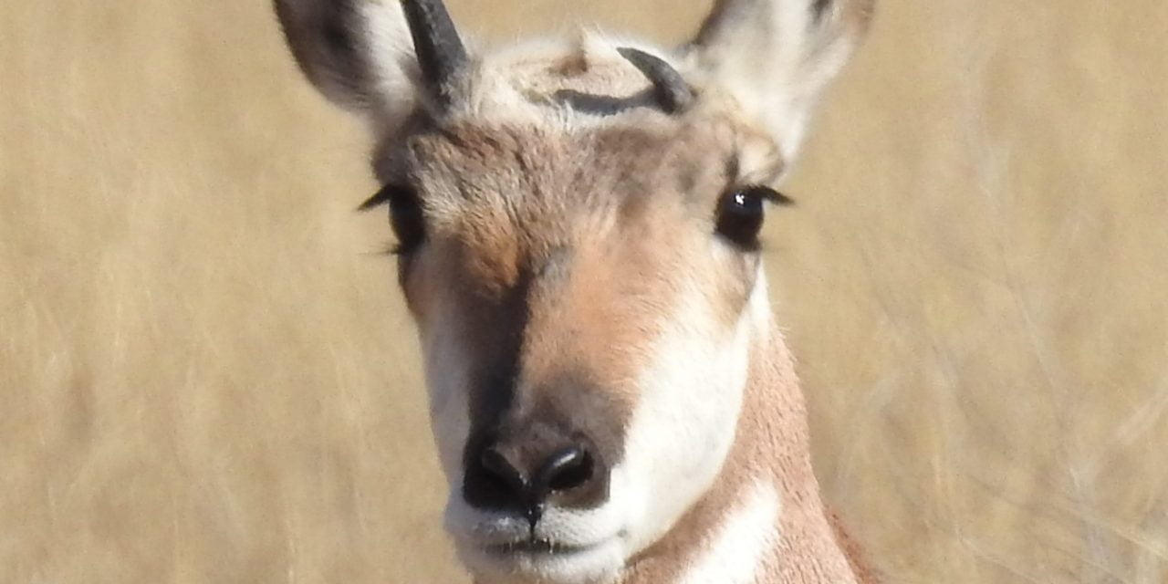 Wild Things: Pronghorn (Antilocapra americana)