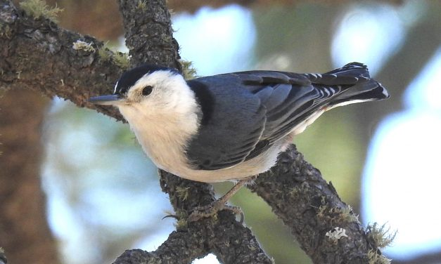 Wild Things: White-breasted nuthatch (Sitta carolinensis)