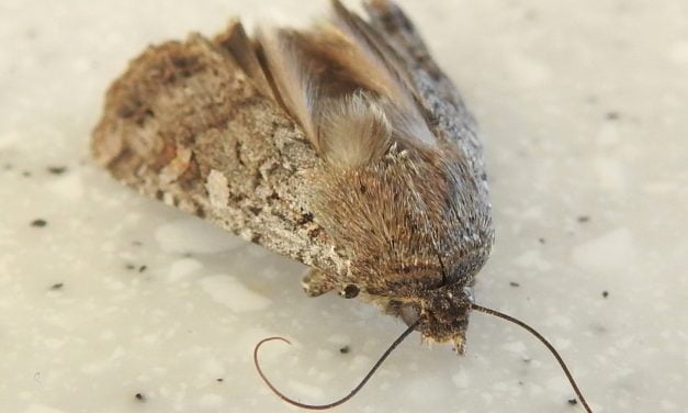 Wild Things: Army cutworm moth (Euxoa auxiliaries)