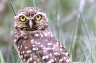 Wild Things: Burrowing Owl (Athene cunicularia)