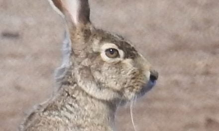 Wild Things: Black-tailed jackrabbit (Lepus californicus)