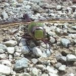 Wild Things: Green Darner dragonfly (Anax junius)