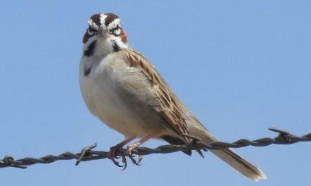 Wild Things: Lark sparrow (Chondestes grammacus)