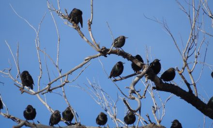Wild Things: European starling (Sturnus vulgaris)