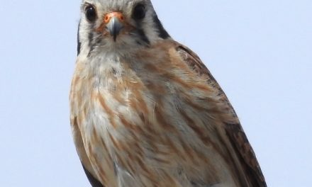 Wild Things: American Kestrel (Falco sparverius)