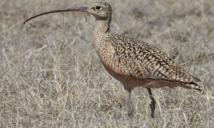 Wild Things: Long-billed curlew (Numenius americanus)