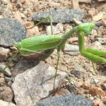 Wild Things: Praying mantis (Mantis religiosa)