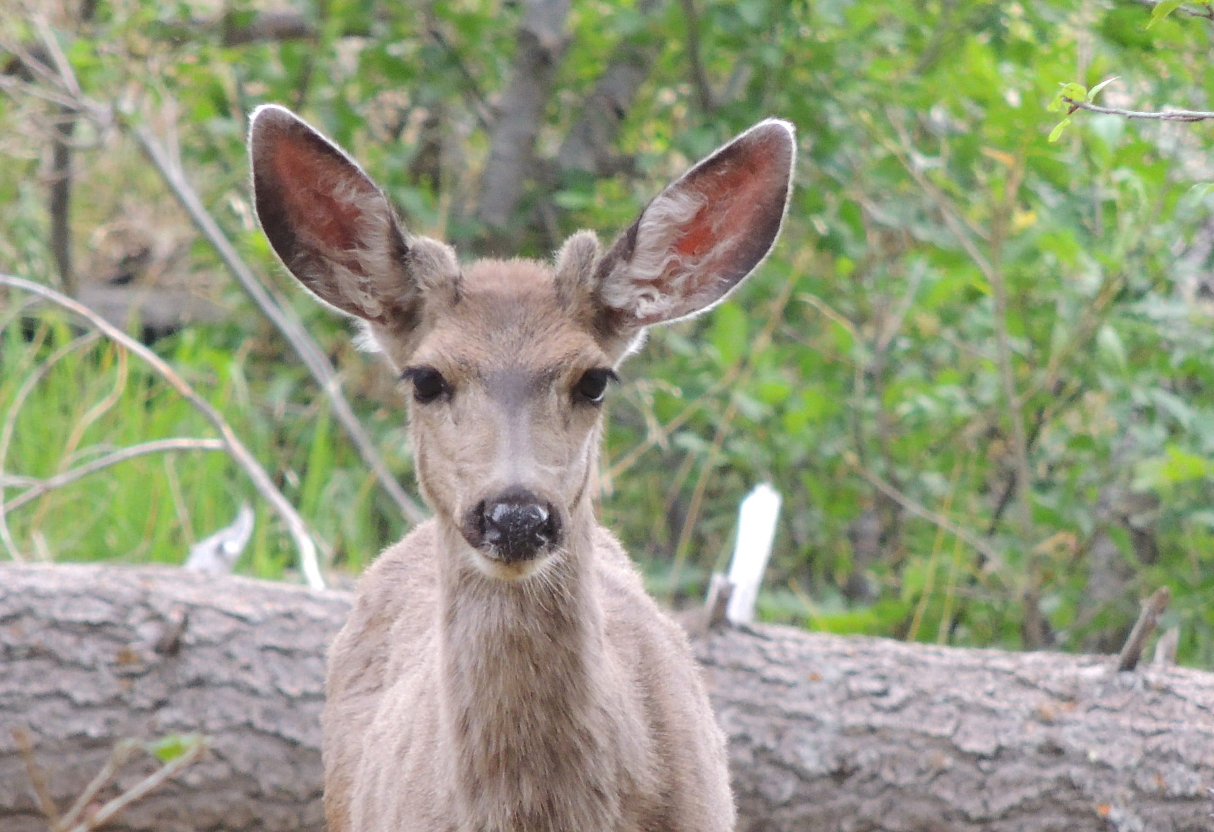 Wild Things: Mule deer (Odocoileus hemionus)