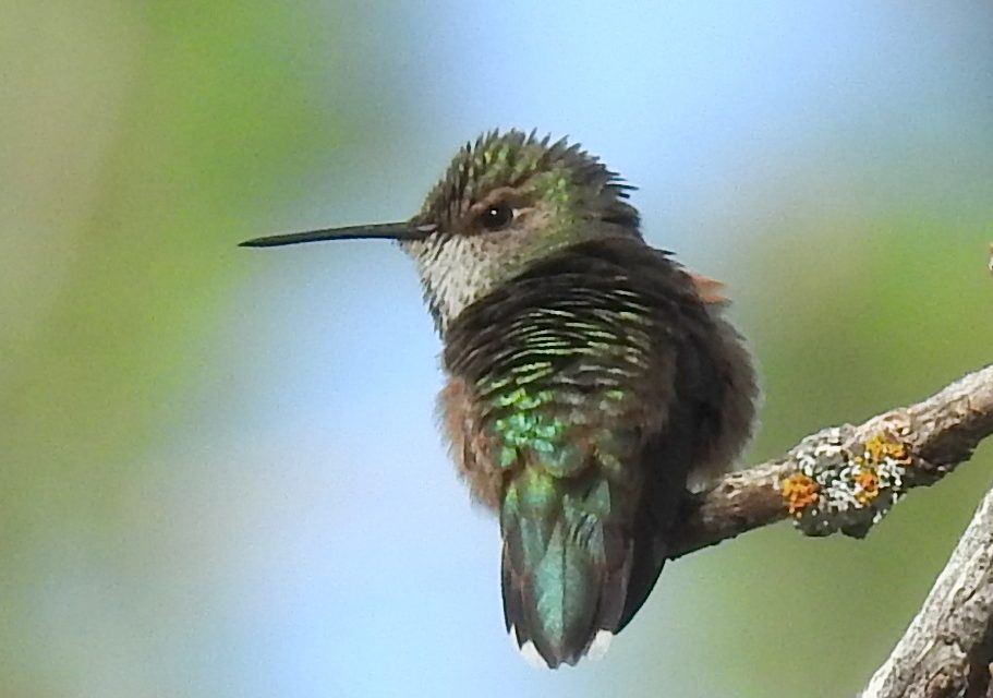 Wild Things: Broad-tailed hummingbird (Selasphorus platycercus)