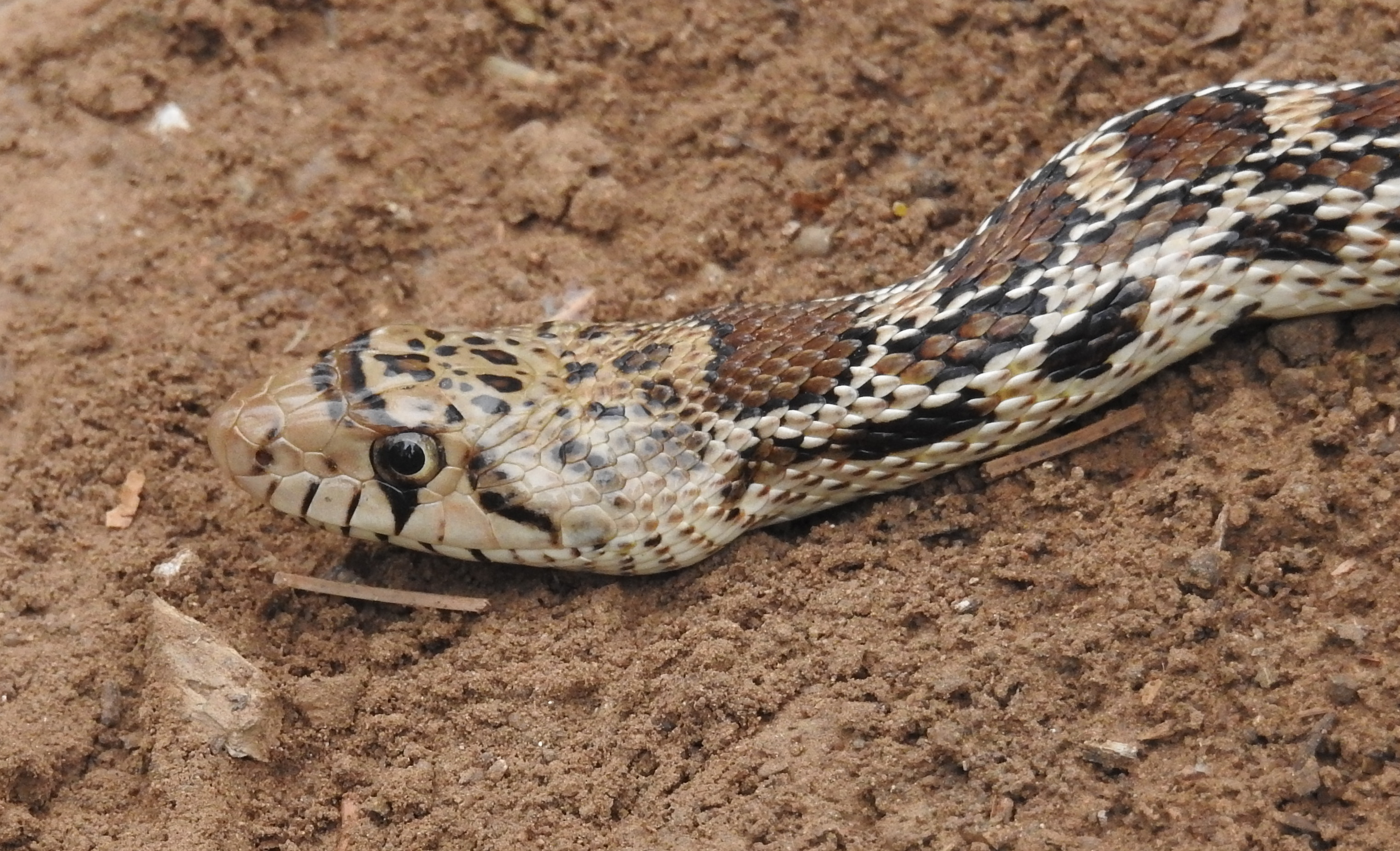 Wild Things: Bull or Gopher snake (Pituophis catenifer)