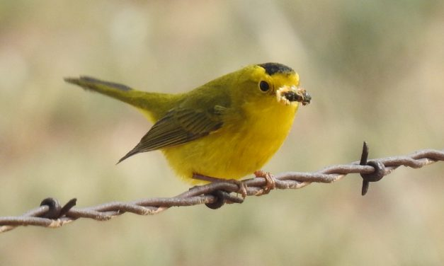Wild Things: Wilson's warbler (Cardellina pusilla)