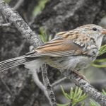 Wild Things: Chipping sparrow (Spizella passerina)