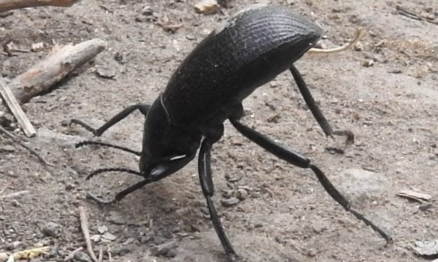 Wild Things: Darkling beetle (Eleodes obscurus)