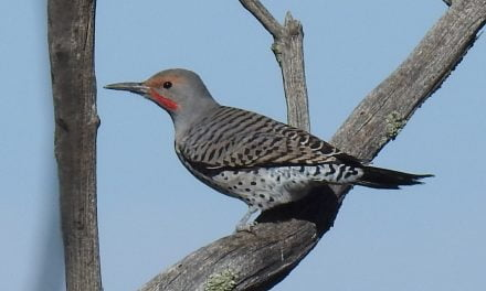 Wild Things: Northern flicker (Colaptes auratus)