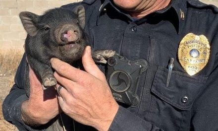 Come, pig! Runaway pigs lead Moriarty animal control officers on chase
