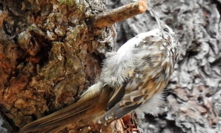 Wild Things Brown creeper (Certhia Americana)