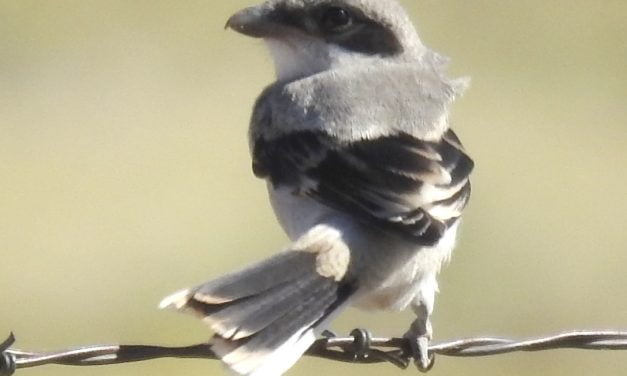 Wild Things: Loggerhead Shrike (Lanius ludovicianus)