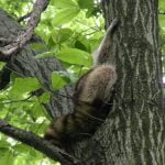 Wild Things: Raccoon (Procyon lotor)