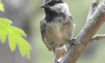Wild Things: Mountain Chickadee (Poecile gambeli)