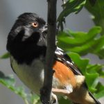 Wild Things: Spotted towhee (Pipilo maculatus)