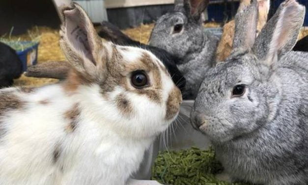 Runaway rabbits now up for adoption in Bernalillo County