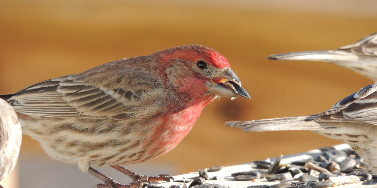 Wild Things: House finch (Haemorhous mexicanus)