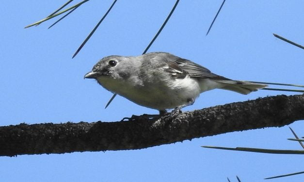 Wild Things: Plumbeous vireo (Vireo plumbeus)