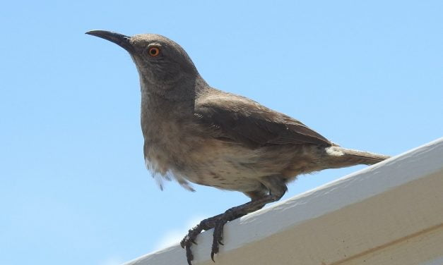 Wild Things: Curve-billed thrasher (Toxostoma curvirostre)