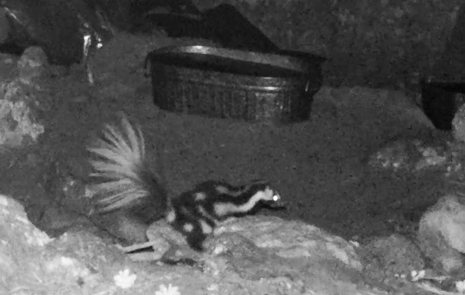 Wild Things: Western Spotted Skunk (Spilogale gracilis)