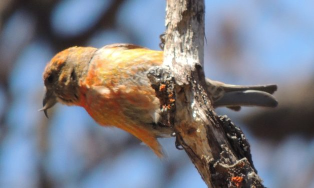 Wild Things: Red Crossbill (Loxia curvirostra)
