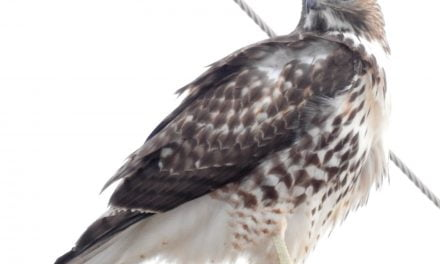 Wild Things: Red-tailed hawk (Buteo jamaicensis)