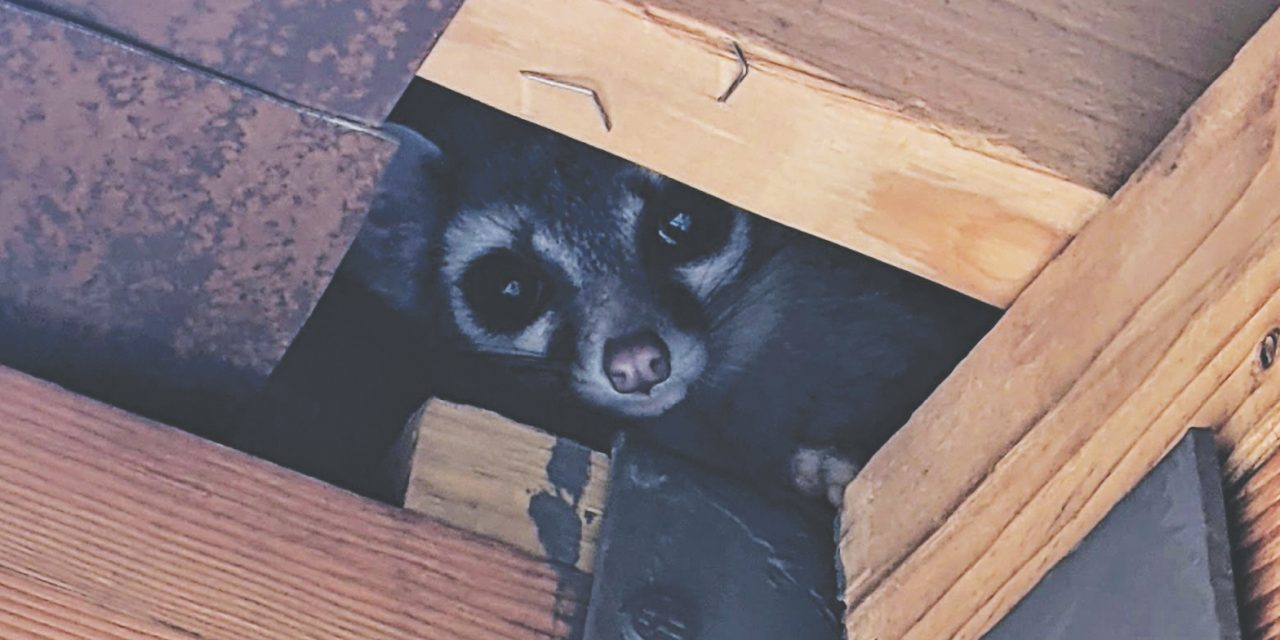 Ringtail, 'squirrel of the night,' visits Natural History Center