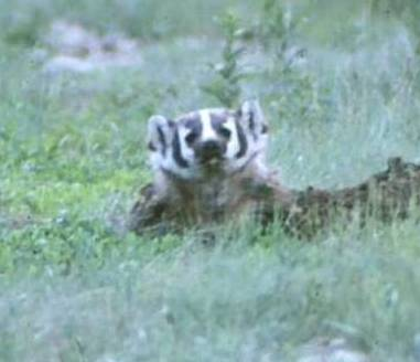 Wild Things: American Badger (Taxidea taxus)